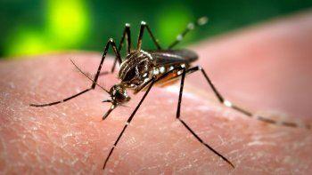 El dengue es transmitido por los mosquitos Aedes aegypti, que también transmiten el zika, el chikunguya y la fiebre amarilla.