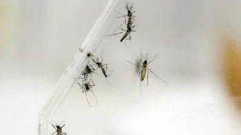El mosquito Aedes aegypti es el portador del virus del Zika
