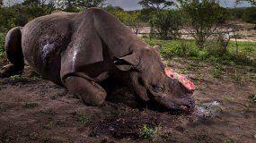 Los rinocerontes son cazados por furtivos porque a sus cuernos se les atribuyen presuntas propiedades medicinales en algunos países.