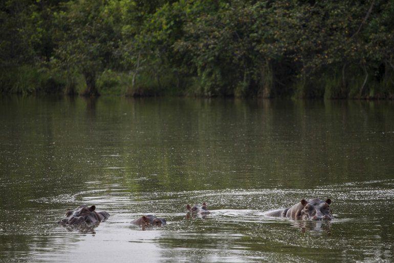 Tres hipopótamos refrescándose en un lago del Parque Temático Hacienda Nápoles de Puerto Triunfo, Colombia, el 12 de febrero del 2020.