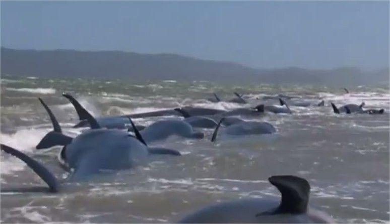 Decenas De Ballenas Quedan Varadas Anualmente En Esa Zona Nueva Zelanda