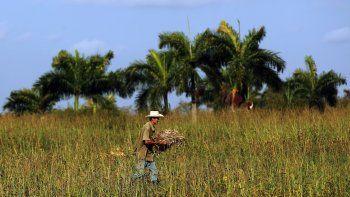 Un campesino cubano cosecha fríjoles en una parcela en la occidental provincia de Pinar del Río.