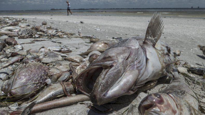 Varios peces muertos en la orilla de la playa Gulfside City Park, en Sanibel, costa oeste de la Florida. Las autoridades ambientales decretaron medidas extraordinarias en siete condados del suroeste del estado para acelerar la recogida de miles de peces muertos a causa de lamarearoja.