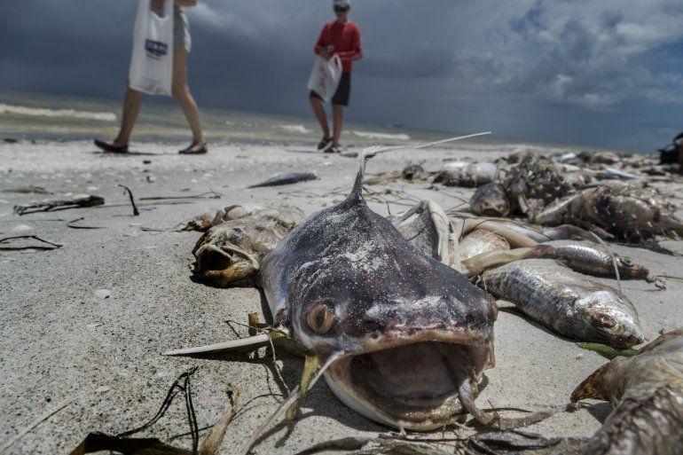 Vista de peces muertos a causa de la marea roja en Sanibel Island, costa suroeste de la Florida.
