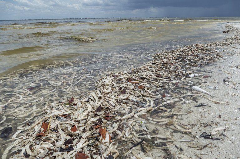 Cientos de peces muertos arriban a la costa floridana, como consecuencia de las afectaciones de la marea roja.