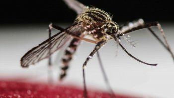El dengue es una enfermedad vírica que es transmitida por el mosquito Aedes aegypti.