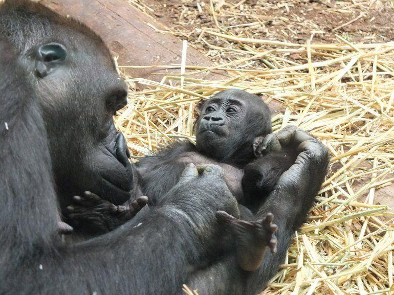 97ed4d09f9d8 Se dice que las mamás gorilas son una de las mejores madres del mundo  animal