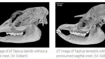 Un mamífero inesperado arroja luz sobre la vida de nuestros ancestros. La respuesta al enigma sobre lo que nuestros primeros antepasados, los homínidos, comieron para sobrevivir puede estar en un grupo no relacionado de grandes mamíferos herbívoros: los tapires.