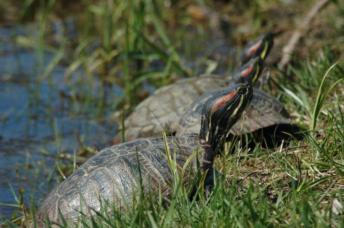 Imagen referencial de tortugas en Florida.