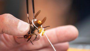 En esta imagen del 7 de octubre de 2020 cortesía del Departamento de Agricultura del Estado de Washington, se ve a un avispón asiático gigante con un dispositivo de rastreo antes de ser liberado cerca de Blaine, Washington.