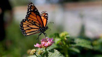 Mariposad monarcas cada vez más cerca de la extinción en California