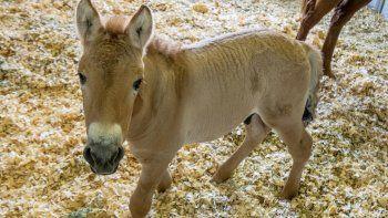 Esta foto del 1 de septiembre del 2020 proporcionada por el Zoológico de San Diego muestra a Kurt, un potro que es un clon de un caballo Przewalski, una especie en peligro de extinción.