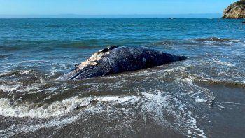Esta foto del 8 de abril del 2021 proveída por el Centro de Mamíferos Marinos muestra a una ballena hembra adulta muerta en Muir Beach, en la Bahia de San Francisco.