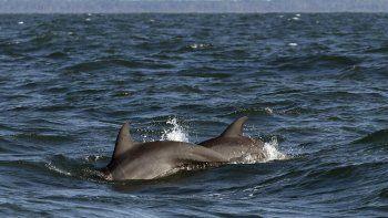 Dos delfines nariz de botella se asoman a la superficie del mar cerca de la costa de Savannah, Georgia, vistos desde un barco que se dirigía a la Reserva Marina Nacional de Grays Reef, el miércoles 7 de agosto de 2019.