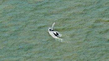 En esta foto proporcionada por Parks Australia, una ballena jorobada nada en el océano en el Golfo de Van Diemen, Australia, el domingo 20 de septiembre de 2020. Una ballena jorobada encontró el camino al mar tras pasar semanas en un río turbio y lleno de cocodrilos ene l norte de Australia.