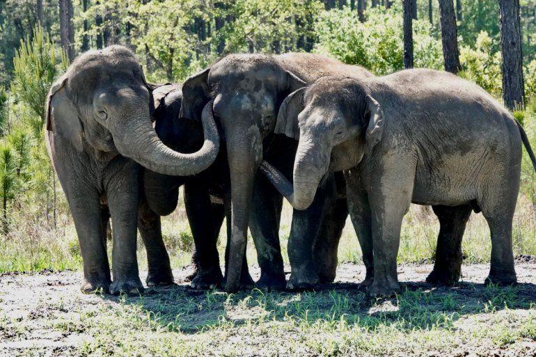 En esta imagen de abril de 2021 difundida por White Oak conservation se ven elefantes que solían pertenecer a un circo en su nuevo santuario de vida silvestre en Yulee