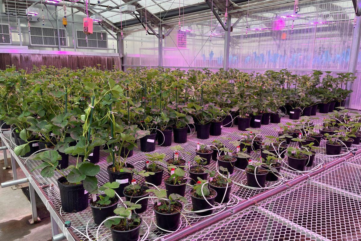 Plantas de fresas modificadas genéticamente crecen un invernadero de la empresa J.R. Simplot Company en Boise, Idaho.