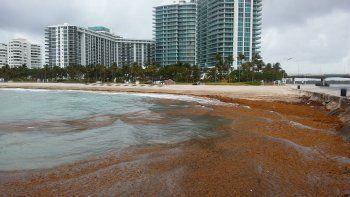 Eltóxico microorganismo Karenia brevises el causante de la marea roja y tiene efectos devastadores cuando las células se multiplican y forman unafloración de algas dañinas.