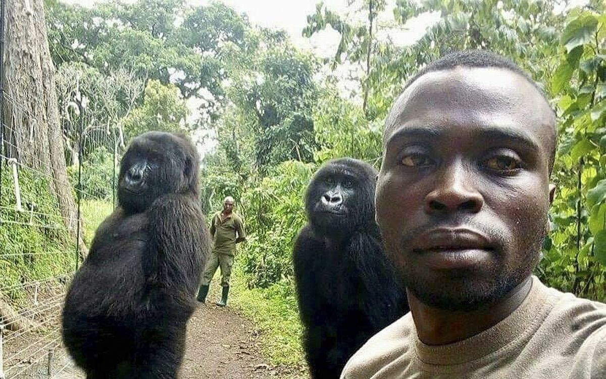 Mathieu Shamavu, un cuidador de gorilas posa para una foto con los gorilas Ndakasi, izquierda, y Ndeze, en el Parque Nacional Virunga, en el Congo, el 18 de abril de 2019. La gorila Ndakasi murió el 26 de septiembre de 2021.