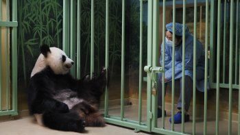 Un cuidador chino se sienta junto al recinto de la panda gigante embarazada Huan Huan, que significa feliz en chino, mientras esperan a que dé a luz en el zoológico de Beauval en Saint-Aignan-sur-Cher, en el centro de Francia. Dio a luz unos gemelos.