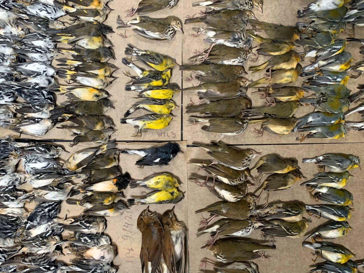 Cientos de aves que cruzaban la ciudad esta semana murieron después de chocar contra los edificios.