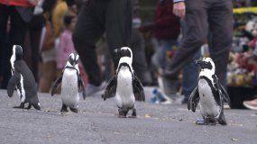 En esta imagen difundida por Netflix, una escena de la serie Penguin Town, estrenada el miércoles, 16 de junio de 2021. La producción muestra el mundo de los pingüinos africanos en Simons Town.