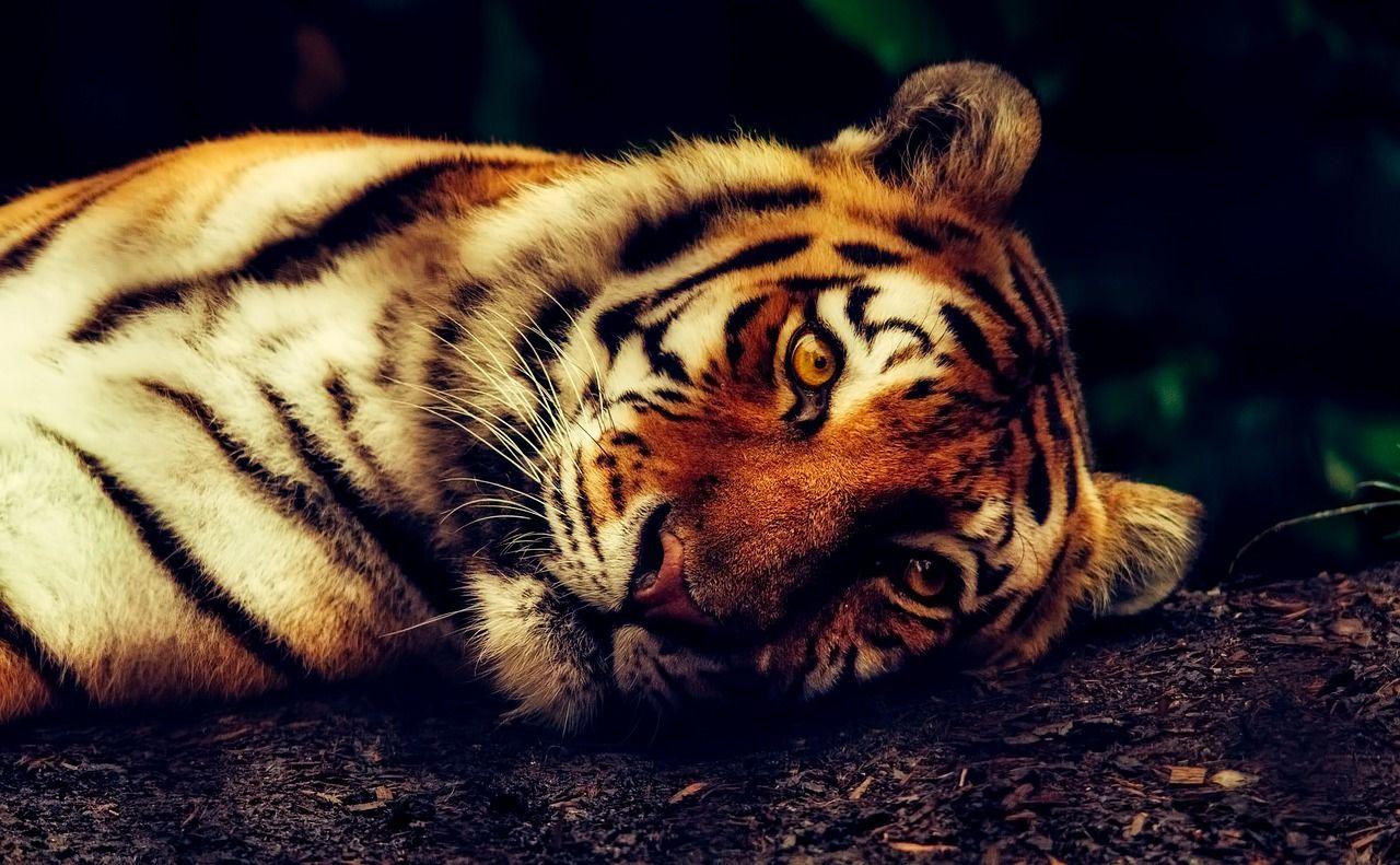 Hotel permite dormir dentro de un recinto de tigres