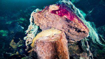 Foto del Santuario Marino Nacional Thunder Bay de la NOAA muestra a unos peces descansando sobre unas rocas cubiertas de esteras de microbios color púrpura y blanco en el lago Huron, Michigan