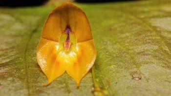 Una nueva especie de orquídea, considerada una rareza por su gran tamaño, fue descubierta en un bosque húmedo del norte de Ecuador, en la frontera con Colombia