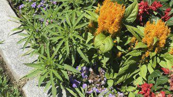 Fotografía publicada el viernes 12 de julio de 2019 por la policía del capitolio de Vermont de plantas de Cannabis, izquierda, en las jardineras del parlamento en Montpelier, Vermont.
