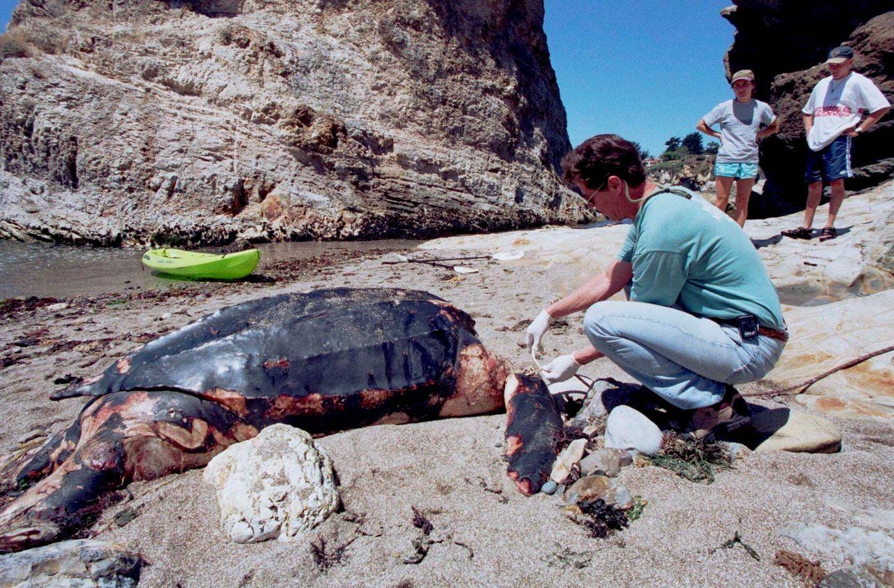 Michael Coffman, de The Marine Mammal Center, revisa a una tortuga laúd en Pismo Beach, California.