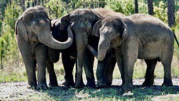 En esta imagen de abril de 2021 difundida por White Oak conservation se ven elefantes que solían pertenecer a un circo en su nuevo santuario de vida silvestre en Yulee, Florida, al norte de Jacksonville.