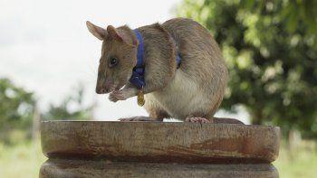 Fotografía de archivo proporcionada por el grupo Peoples Dispensary for Sick Animals (PDSA) de Magawa, una rata de Gambia que detecta minas terrestres en Camboya, con su medalla de oro PDSA.
