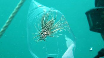 Fotografía cedida por la Comisión para la Conservación de la Pesca y la Vida Salvaje de Florida (FWC, por su sigla en inglés) del venenoso pez león, que se ha convertido en un invasor de las aguas costeras de Florida y un depredador temible de numerosas especies nativas que las habitan.