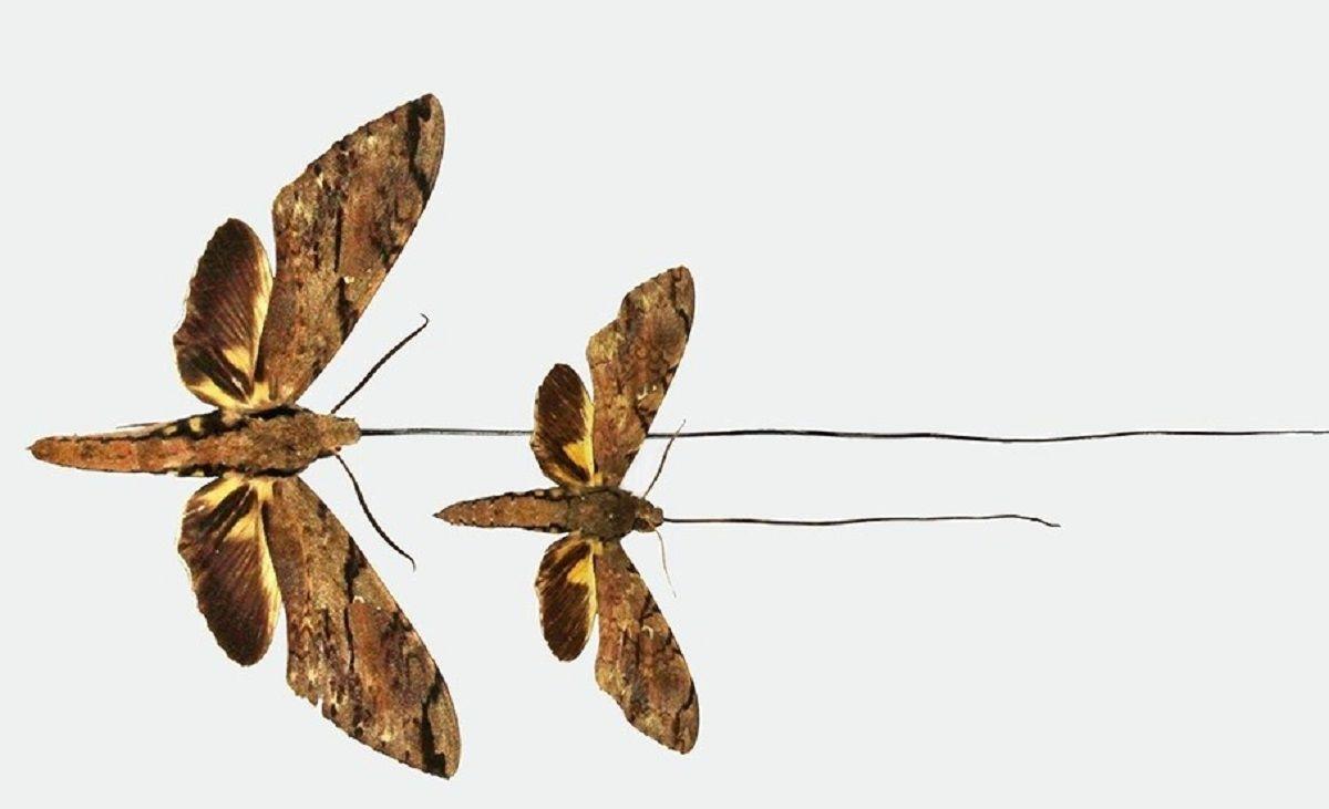 La nueva especie de polilla tiene la lengua más larga de todos los insectos, por lo que puede alcanzar el néctar en el fondo de la orquídea estrella de Madagascar