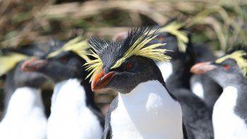 Pingüinos en la isla de Tristan da Cunha en el Atlántico sur. La isla, con 245 habitantes permanentes ha creado una zona de protección de la vida marina en un área tres veces mayor que el Reino Unido.