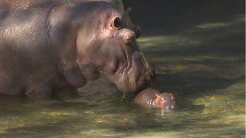 Este nacimiento es una contribución importante a la conservación y comprensión mundial de estas increíbles criaturas, aseguró la empresa en un comunicado.