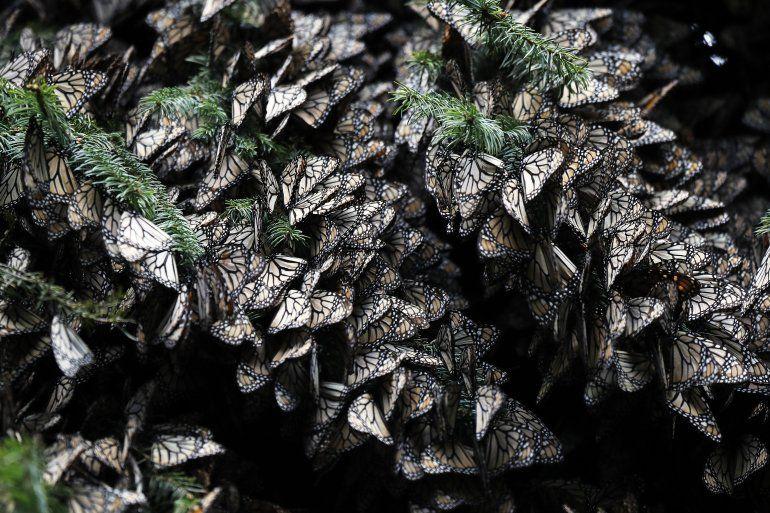 Múltiples mariposas monarca se agrupan sobre ramas de árboles en el santuario de Amanalco de Becerra