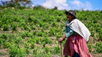 Una mujer recolecta hojas de coca en una plantación de coca en Trinidad Pampa, Yungas, Bolivia el 24 de octubre de 2020. Los cultivadores de coca de la región de los Yungas en el oeste de Bolivia tienen esperanzas de tiempos mejores después de la elección de Luis Arce como presidente, desde el expresidente Evo Morales Es recordado en esta región del subtrópico andino como un hombre abusivo que dividió a las comunidades.