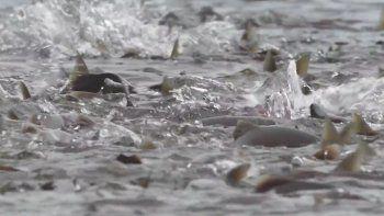 Según la organización Sí al Salmón, las corrientes de salmón no se recuperan y una vez que se desentierra un nido de salmón, este desaparece para siempre.