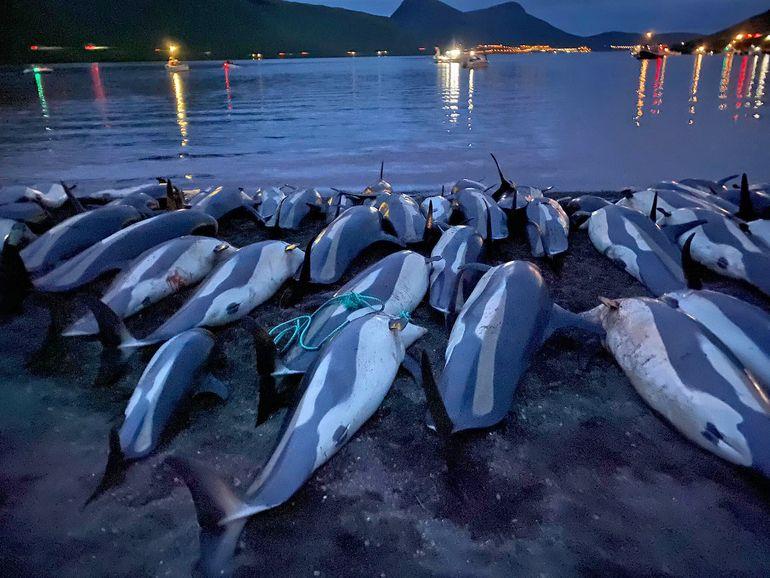 En esta foto distribuida por la Sea Shepherd Conservation Society los cuerpos de delfines muertos están tendidos sobre una playa de la isla Eysturoy, que forma parte del archipiélago de las Feroe, 12 de septiembre de 2021.
