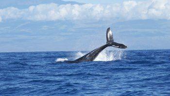 Las autoridades niponas han sostenido que la mayoría de las especies de ballenas no están en peligro de extinción y que comer ballenas es una parte apreciada de su cultura alimentaria.